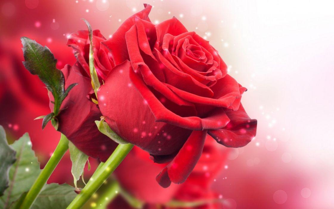 Rose Flowers Flower Roses Bokeh Landscape Nature Garden Wallpaper