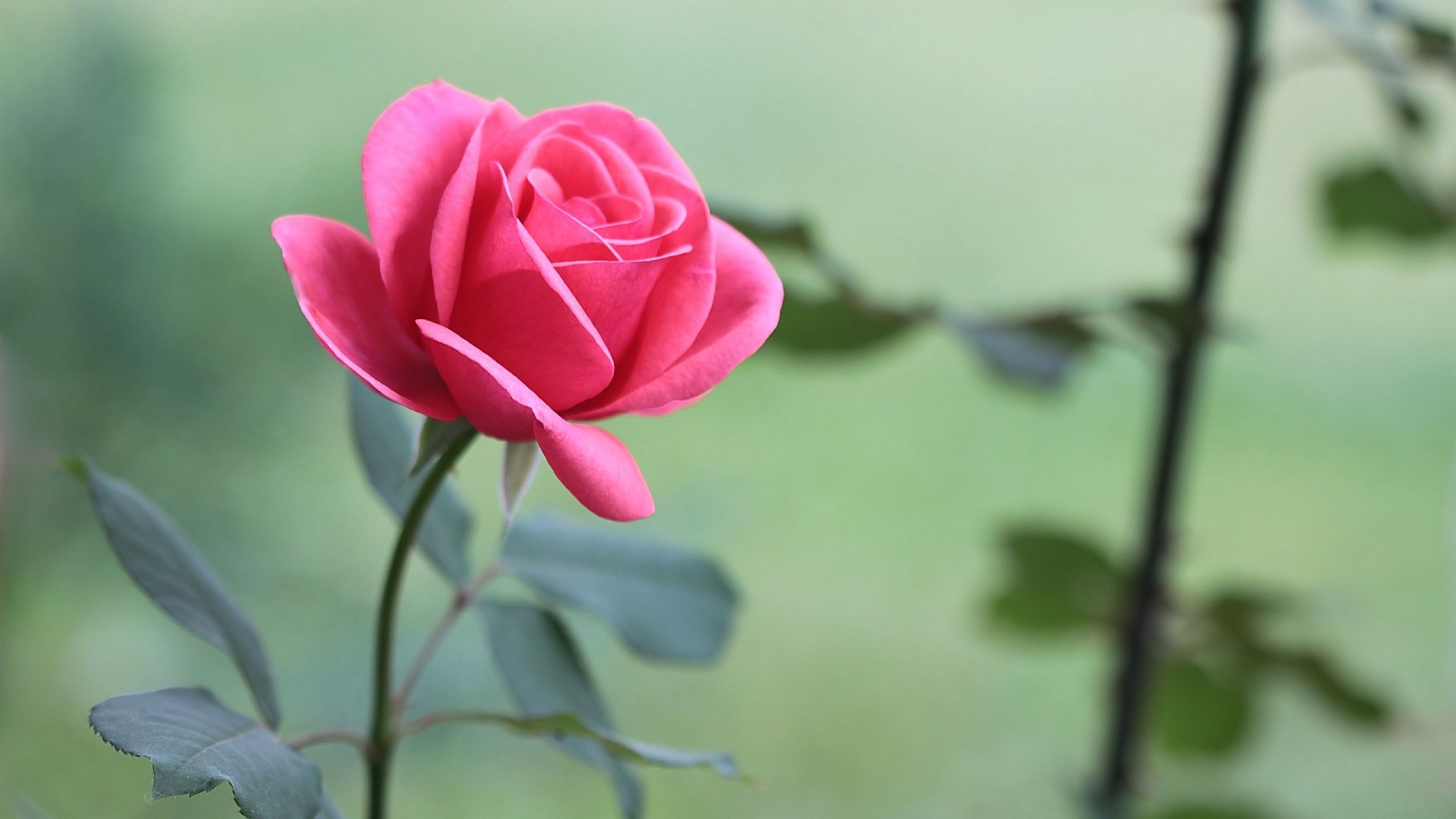 Rose flowers flower roses bokeh landscape nature garden - Pics of red roses in hd ...