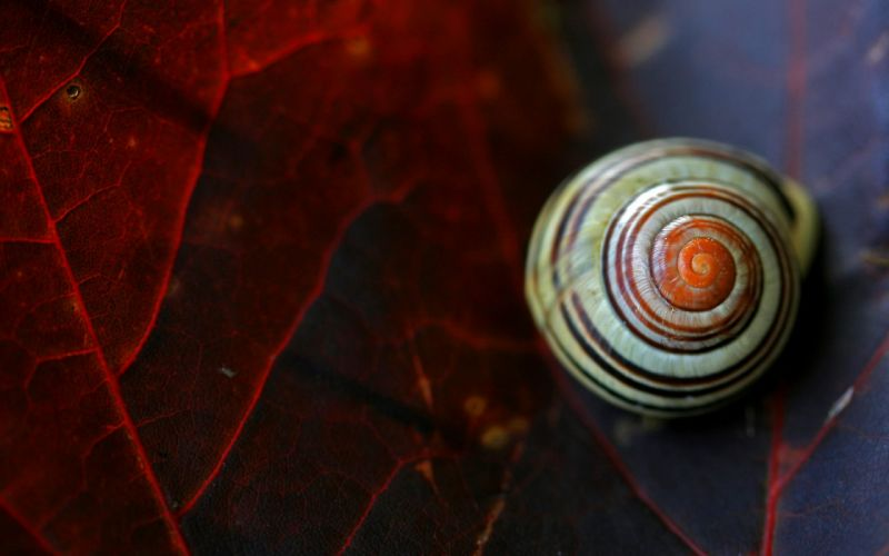 snail animal leaf macro wallpaper