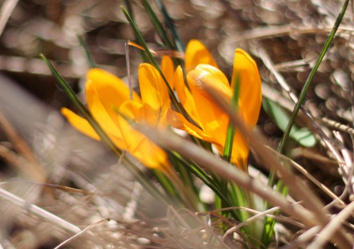 crocus saffron shafran flowers spring wallpaper