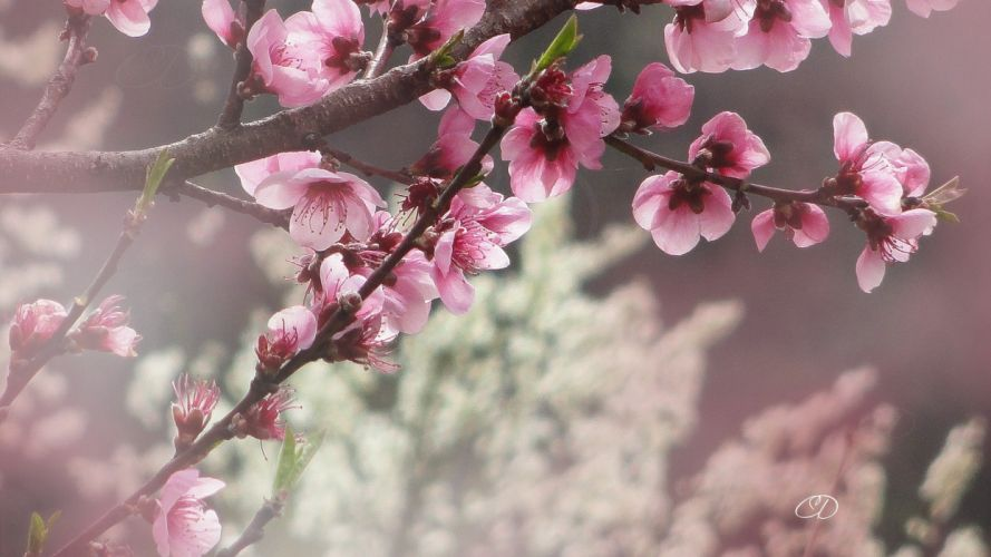 branches-cherry-blossoms-flowers-nature- wallpaper
