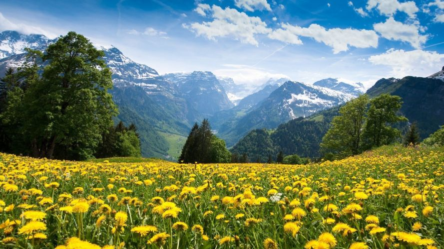 alps-flowers-mountains-yellow-flowers- wallpaper