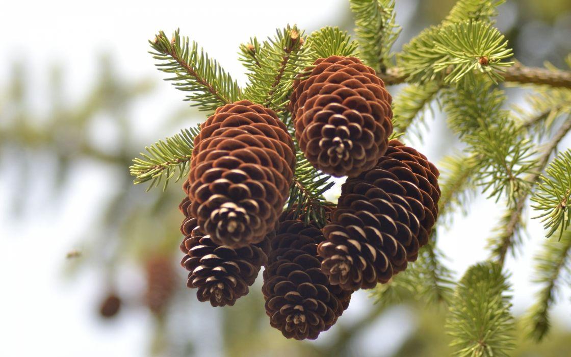 pine-cones wallpaper