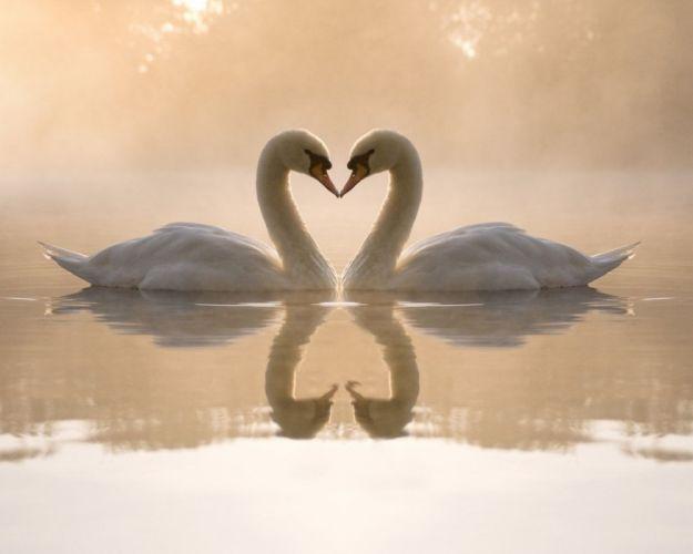 cisnez corazon amor animales wallpaper