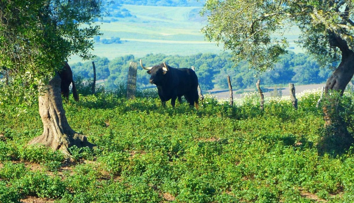 bull fightingbull andalusia sevilla spain corrida wallpaper