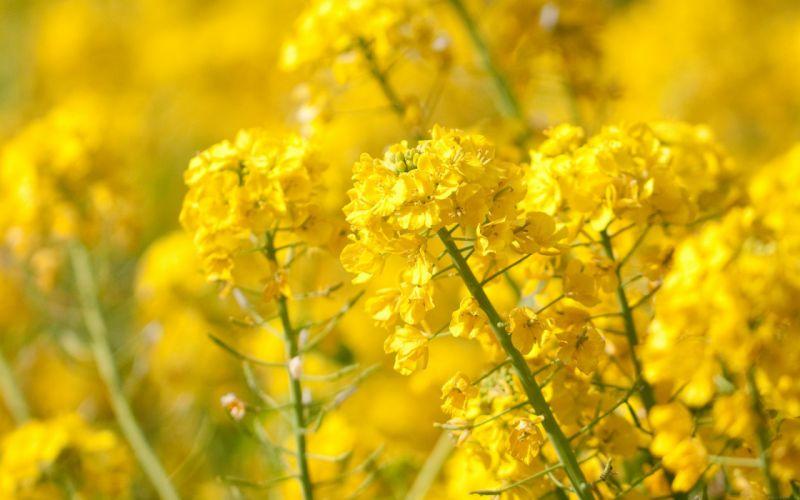 yellow-flower-spring-fun-nature- wallpaper