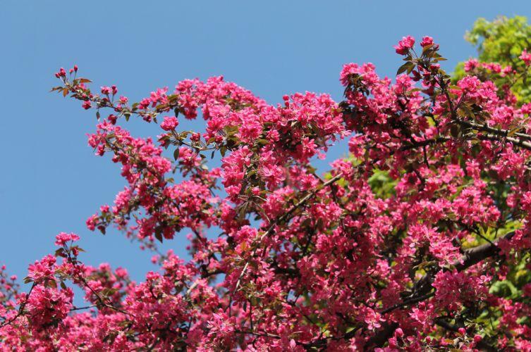 pink flowers blossom tree spring wallpaper