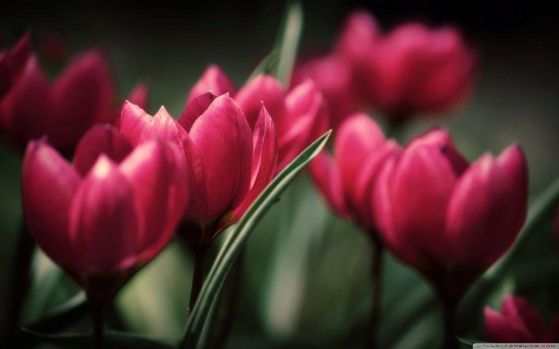 tulips wallpaper