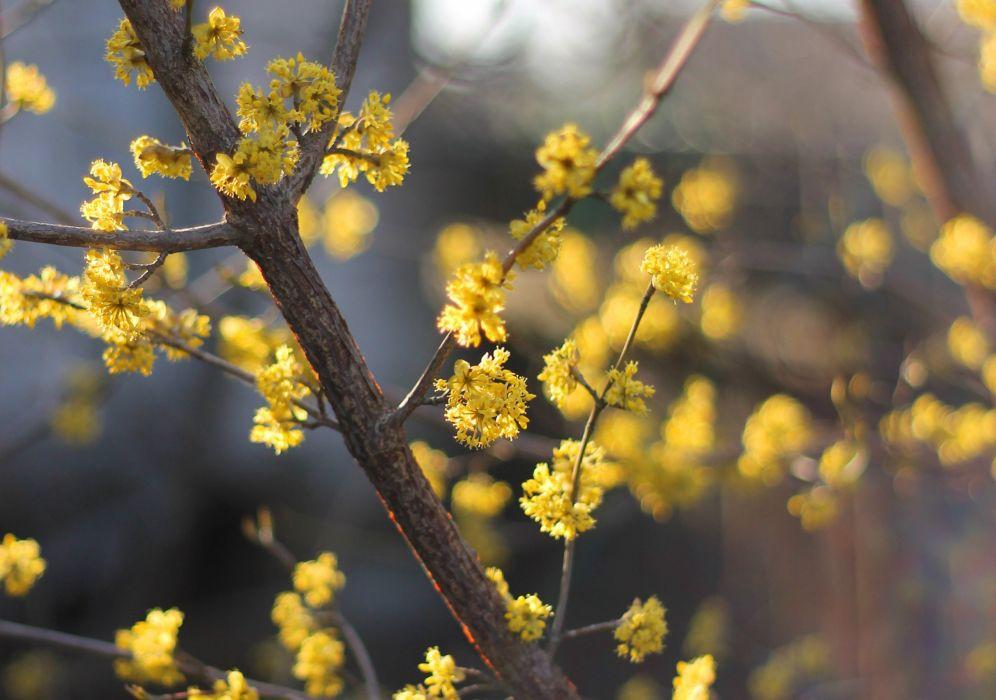 dogwood tree cornus flowers blossom flowering spring wallpaper