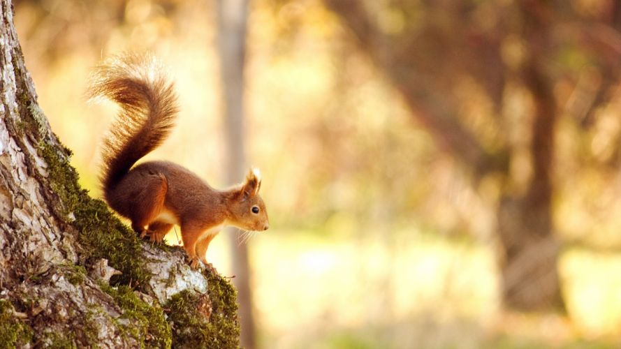 animal nature cute forest squirrel wallpaper