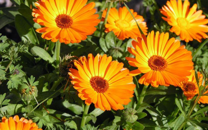 nature flower orange color beauty wallpaper