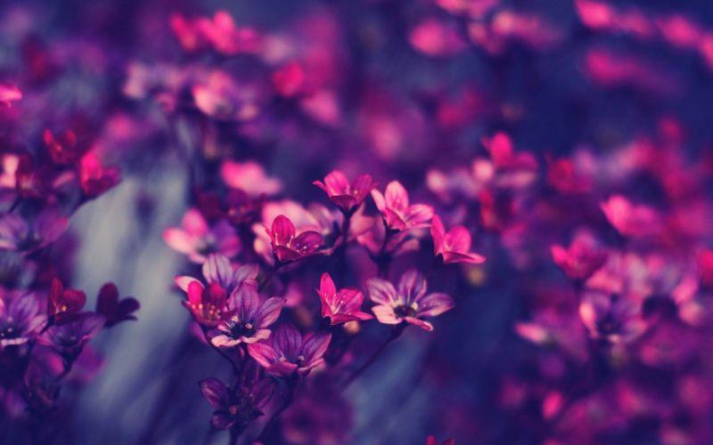 -violet-flowers- wallpaper