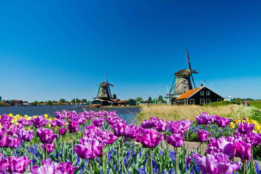 prado tulipanes molino holanda paisaje wallpaper