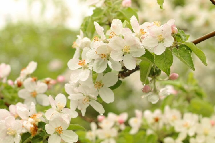 apple blossom flowering flowers spring tenderness wallpaper