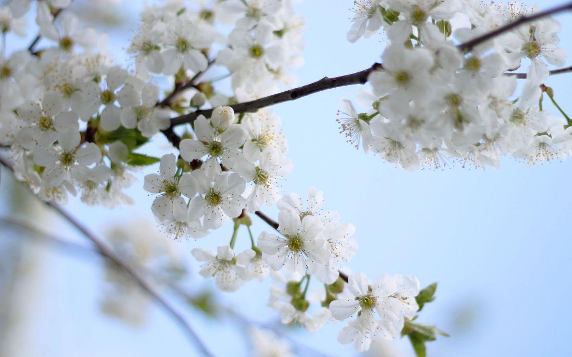flowers blossom flowering cherry tree spring sky wallpaper