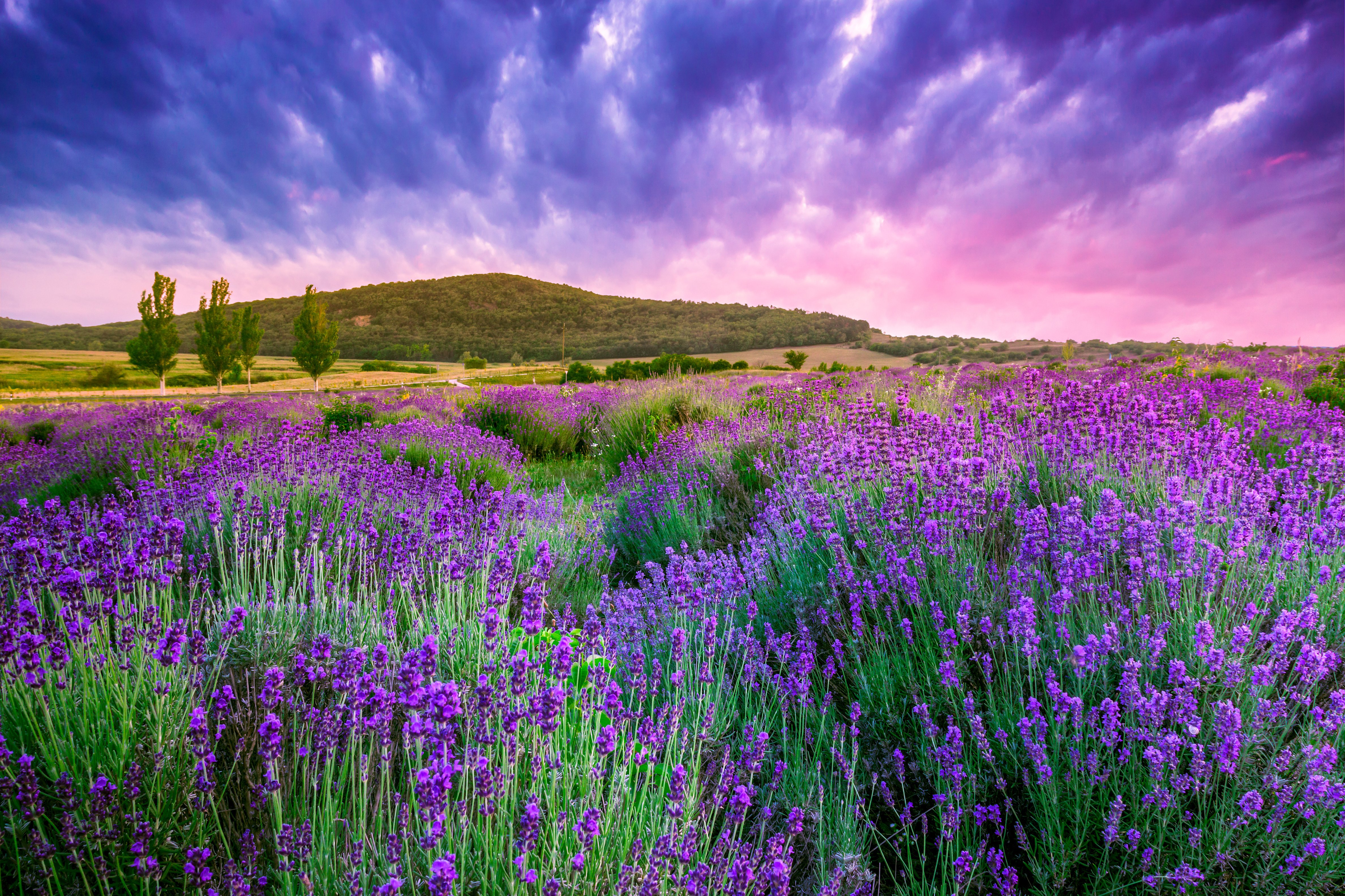 Flowers lavender sunrise landscape wallpaper 4752x3168 for Flower landscape