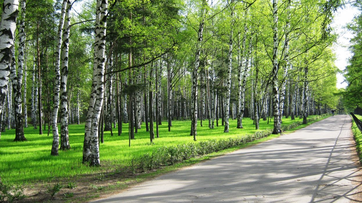 Spring birch park forest road path trail people wallpaper