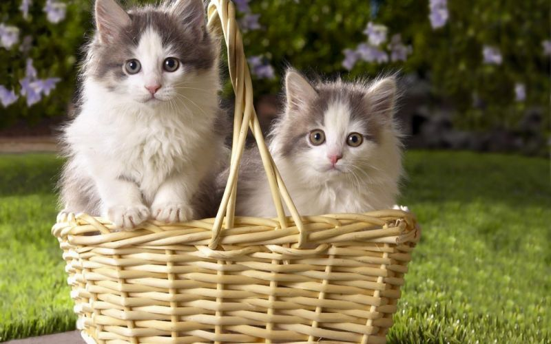 kittens kitten cat cats baby cute s wallpaper
