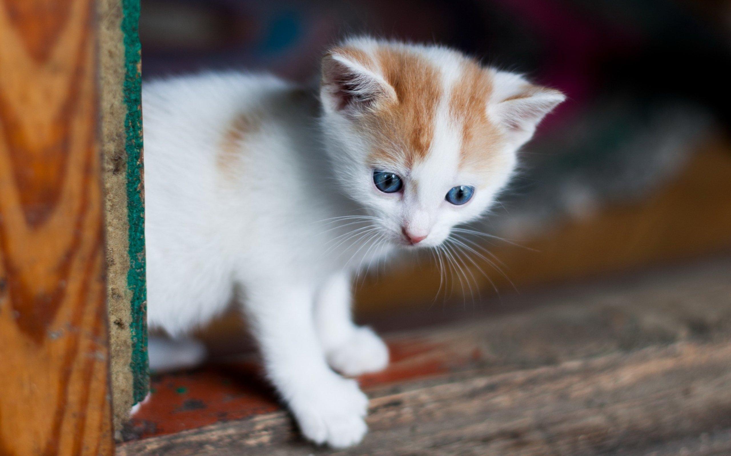 Kittens Kitten Cat Cats Baby Cute S Wallpaper 2560x1600
