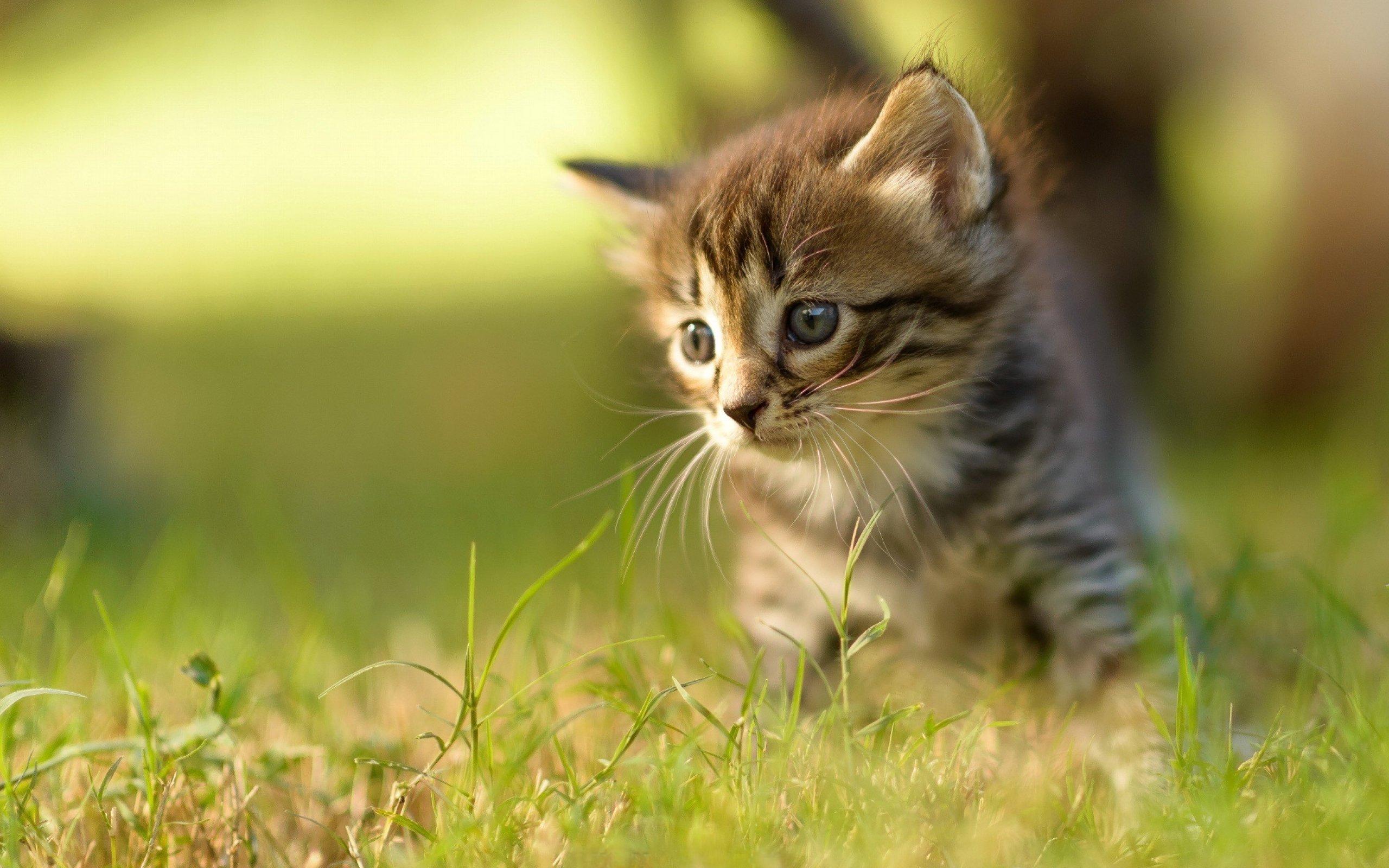 kittens kitten cat cats baby cute s wallpaper | 2560x1600 | 708282