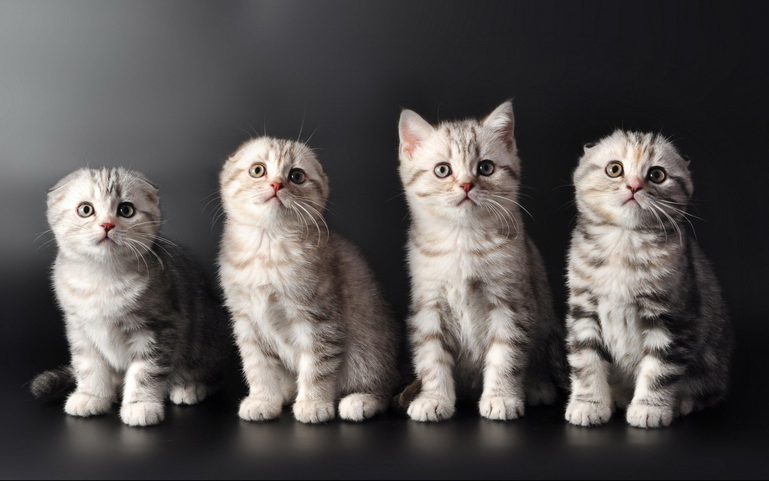 Kittens Kitten Cat Cats Baby Cute S Wallpaper 2560x1600 708296 Wallpaperup