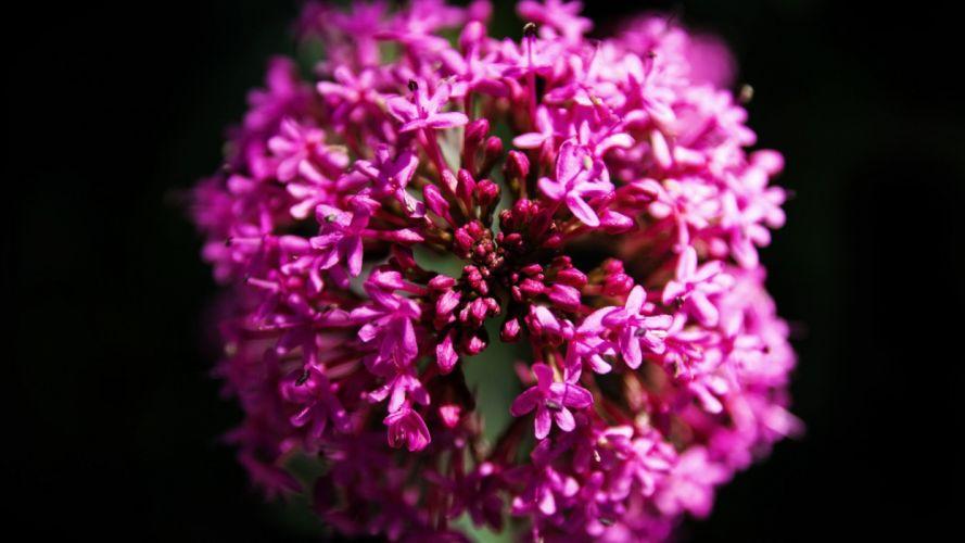 nature purple flowers plants macro wallpaper