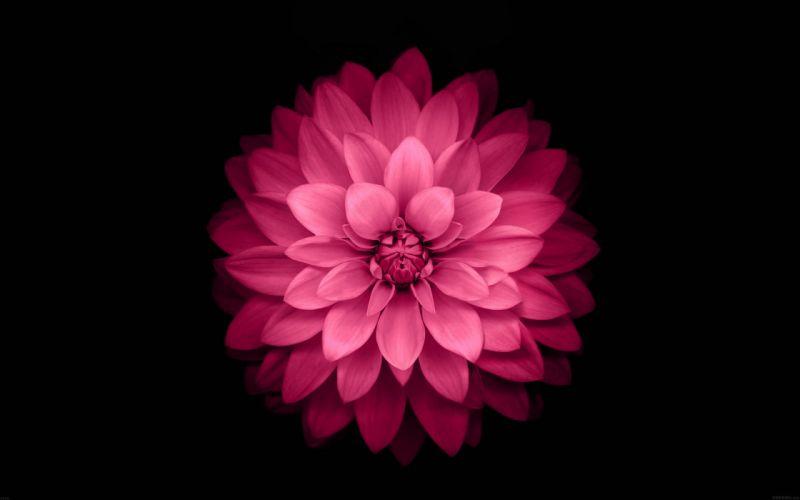 red lotus black background wallpaper