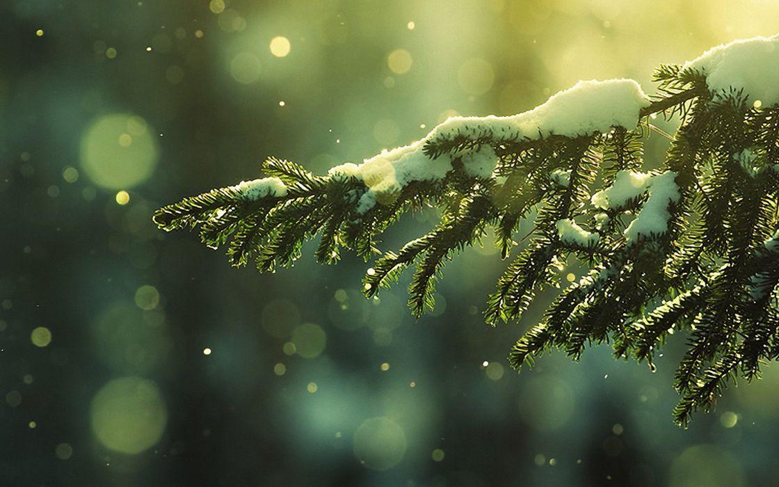 Pine Tree Green Nature Beautiful Snow Winter Wallpaper