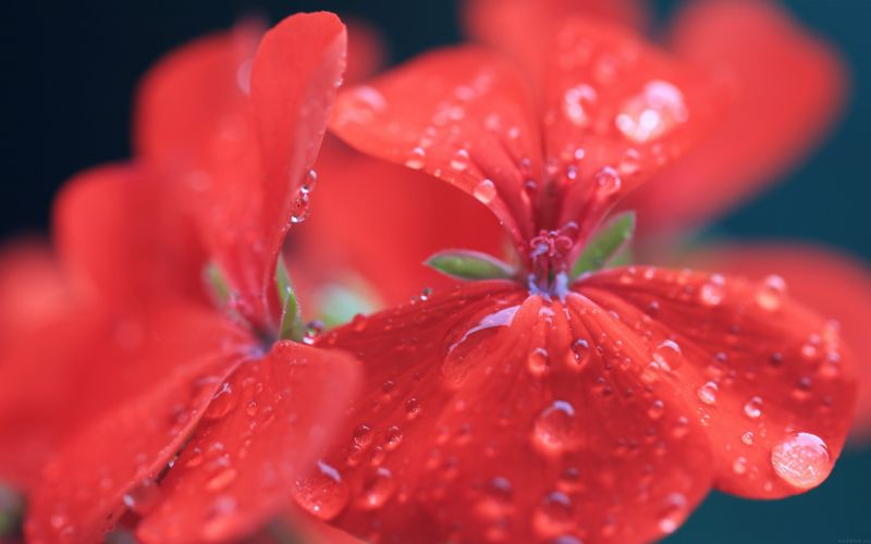 spring flower party red nature beauty beautiful wallpaper