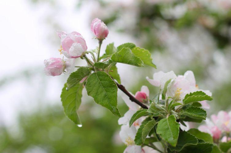 apple flowers blossom flowering tree spring rain leaves macro wallpaper