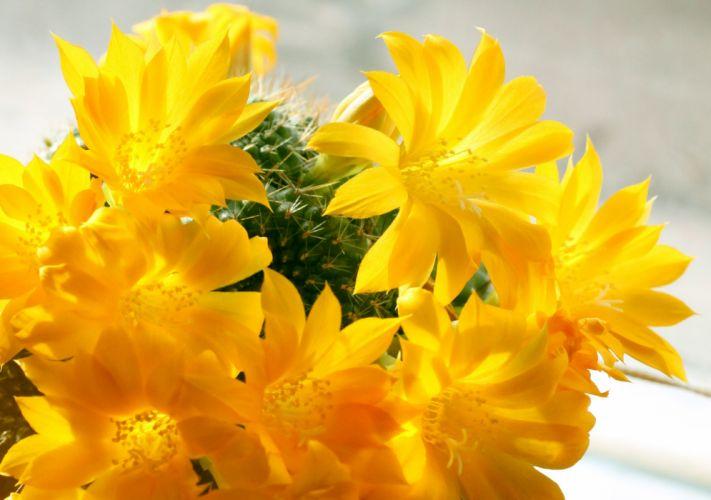 rebutia cactus flowers flowering sunlight spring macro wallpaper