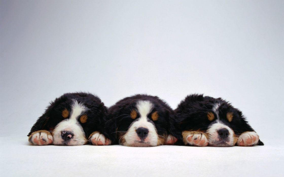 animal cute dogs beauty wallpaper