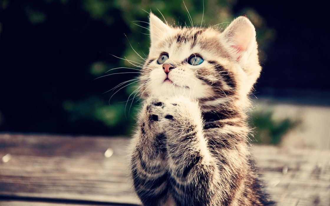 cats kittens cute animal wallpaper