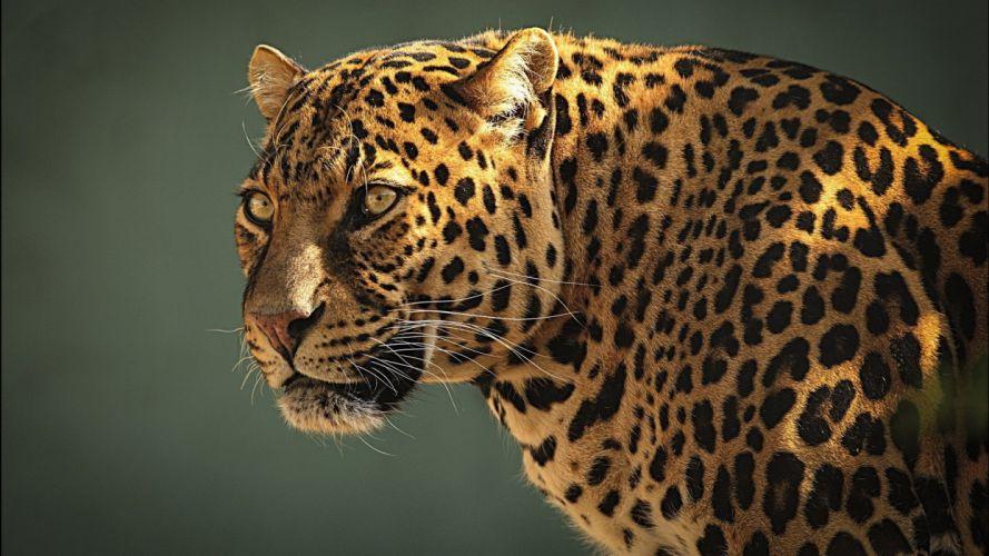 leopard animal beauty wallpaper