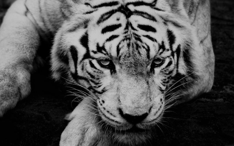 bw dark tiger animal beauty wallpaper