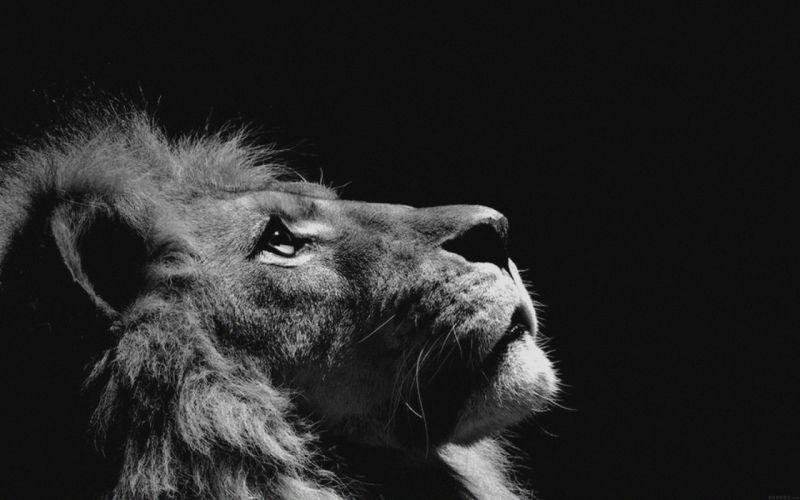 lion looking sky animal nature dark animal beauty wallpaper