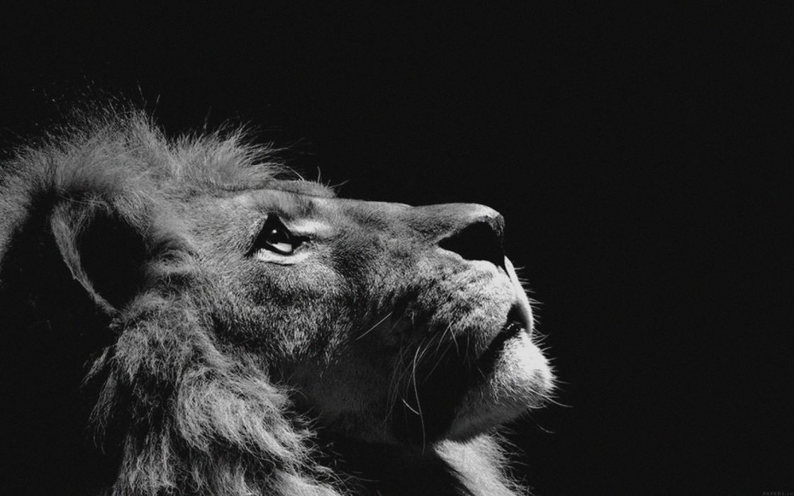 lion looking sky animal nature dark animal beauty wallpaper