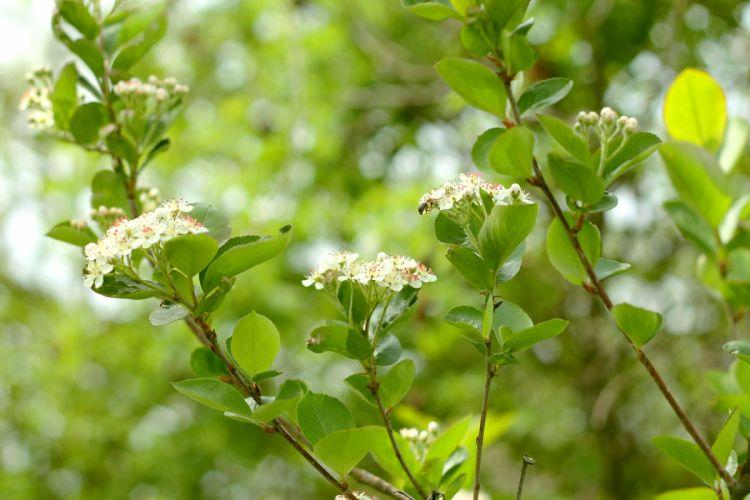 aronis tree blossom flowering leaves bee spring wallpaper