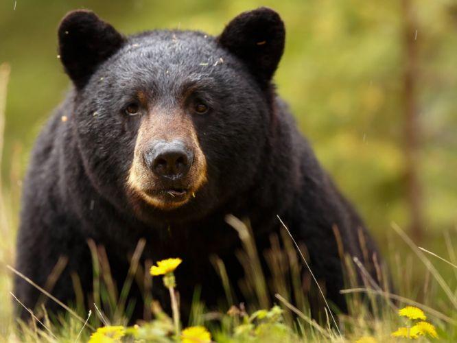 Baribal black bear bear muzzle eyes predator wallpaper