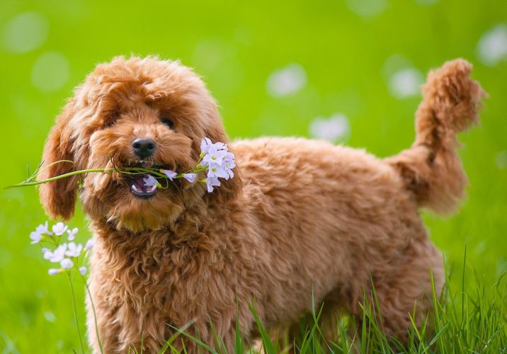 dog toy poodle poodle flowers wallpaper