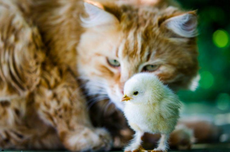 cat chicken chick situation baby bird mood wallpaper