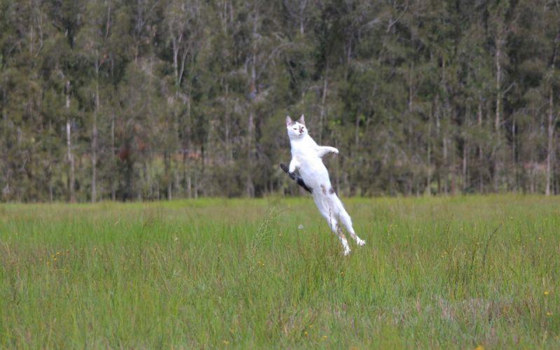 flight cat cat jump meadow grass humor funny mood wallpaper