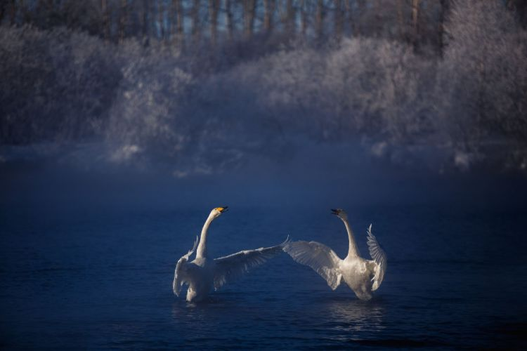 frost lake couples swans flock winter fog autumn swan mood b wallpaper