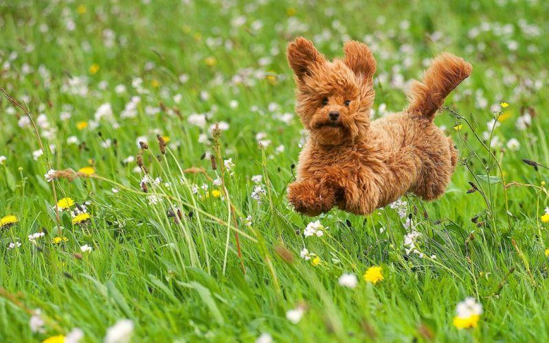 dog puppy toy poodle poodle walk meadow grass flowers joy mood wallpaper
