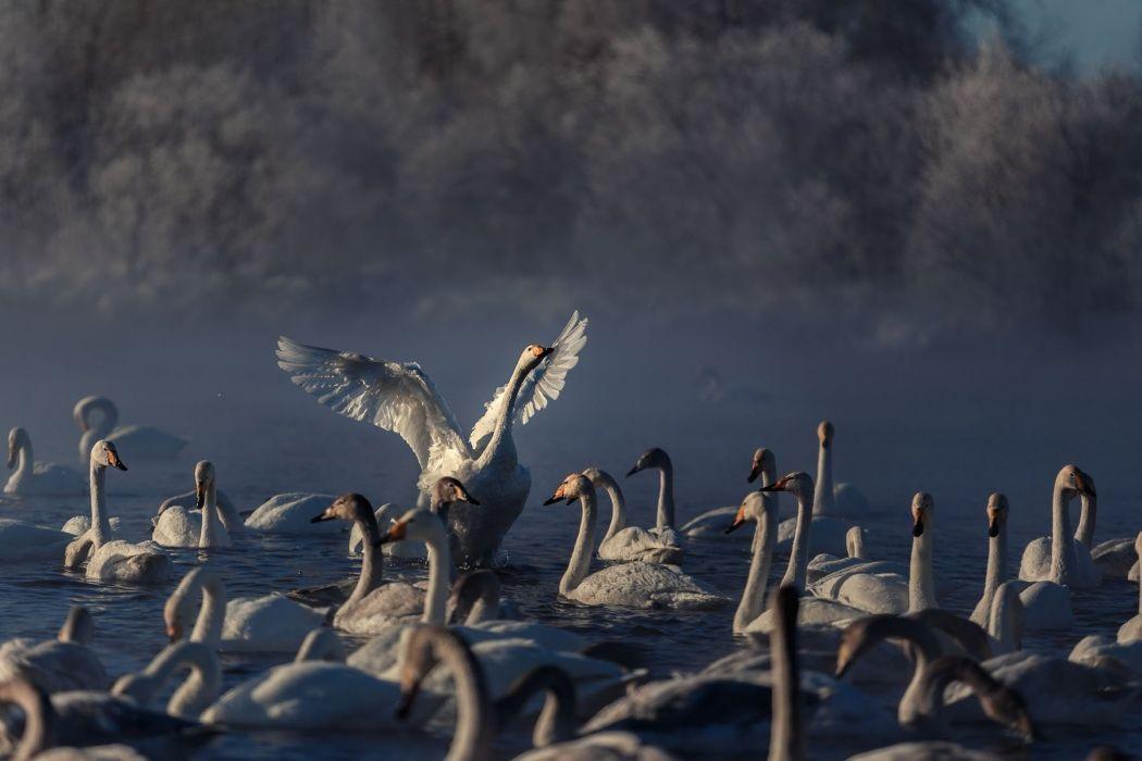 frost lake couples swans flock winter fog autumn swan mood g wallpaper