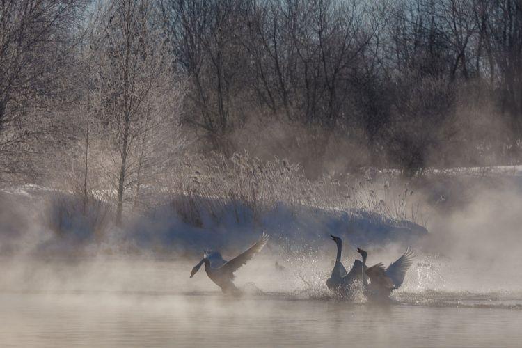 frost lake couples swans flock winter fog autumn swan mood wallpaper