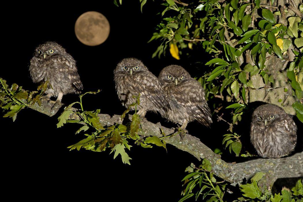 Owl owls birds quartet little family tree branch moon night moon baby wallpaper