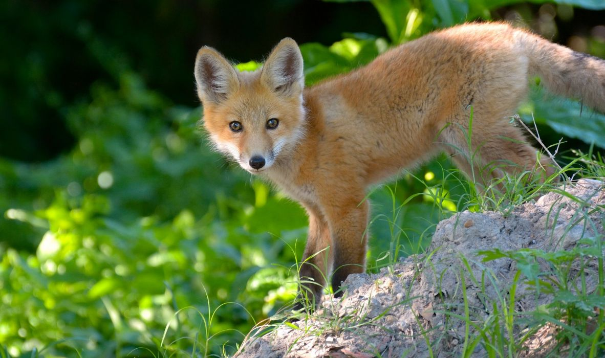 fox cub red eyes foxes baby wallpaper