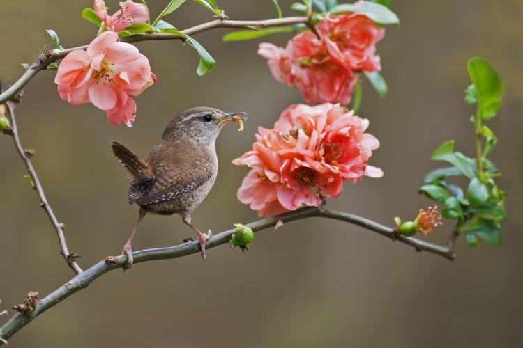 wren bird branch flowers blooms wallpaper
