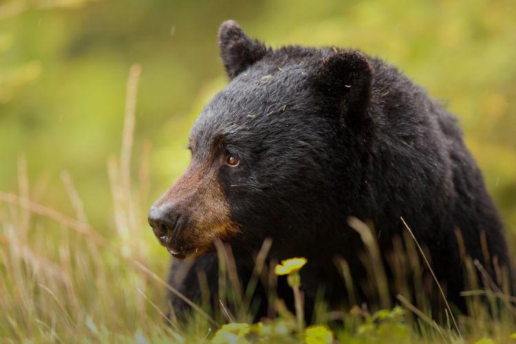 Baribal black bear bear muzzle predator wallpaper